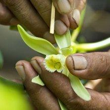 vaniglia di Tahiti