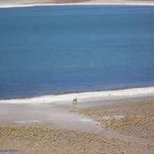 vigogna al lago