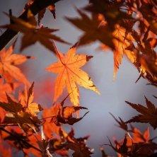 foglie autunnali acero