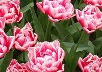 tulipamaniaapertura