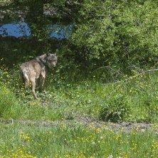 lupo del Parco d'Abruzzo