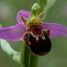 orchidea del Parco d'Abruzzo