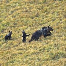 orsa con cuccioli al Parco d'Abruzzo