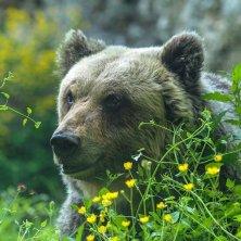 orso del Parco d'Abruzzo