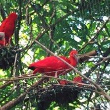 ibis a Iguazu