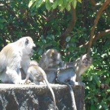 Mauritius famiglia-di-scimmie
