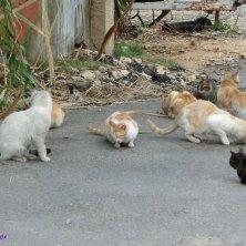 gatti libanesi