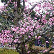 sakura in parco