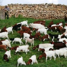 capre a Gozo