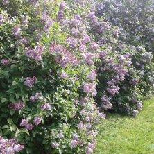 cespugli di lillà a Cirencester