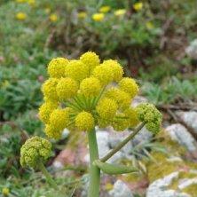 flora a Berlenga