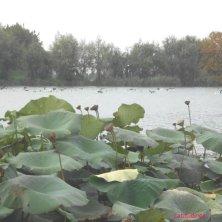 foglie sul fiume