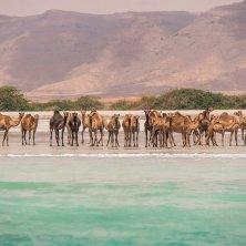 Camels on the beach near Salalah Marina