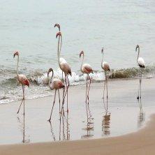 Wildlife - Flamingos in Salalah, Dhofar, Oman