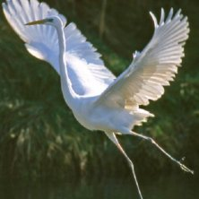 Fauna-del-Veneto_Airone-bianco-maggiore_Parco-regionale-Delta-del-Po_ro