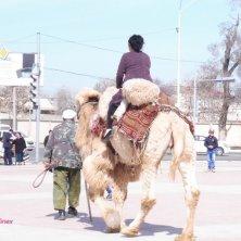 cammello per turisti