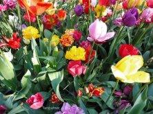 Keukenhof tulipani colorati