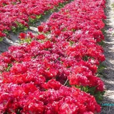 fila di tulipani rossi