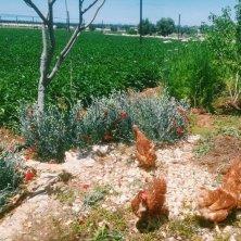 galline nell'orto