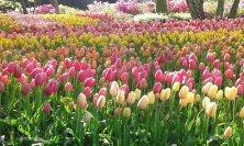 mix tulipani colorati