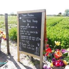 raccolta dei tulipani