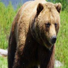 Brown_Bear_Ashley_Heimbigner