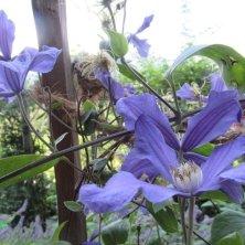 clemantidi fiorite Giardini di Castel Trauttmansdorff