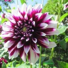 dalia in fiore ai Giardini di Castel Trauttmansdorff