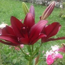 gigli in fiore al monastero Moldovita Bucovina