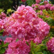 azalee fiorite Glenveagh National Park