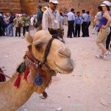 dromendario per turisti a Petra