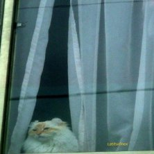 gatti in Giappone alla finestra