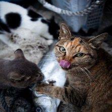 gatti isola giapponese