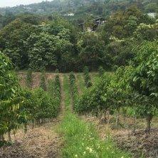 file di alberi di caffè