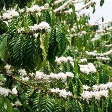 fioritura del caffè delle Hawaii