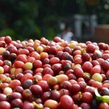 frutti caffè delle Hawaii