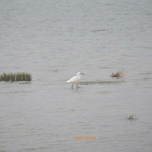 garzetta nella laguna di Venezia