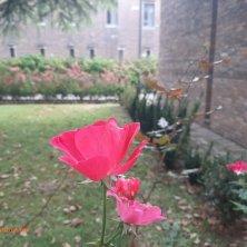 rosa d'autunno a San Francesco nel deserto