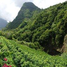 Madeira vigneti