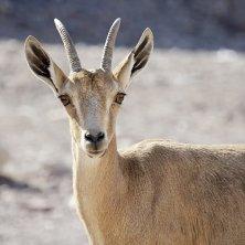 deserto animali parchi di Israele