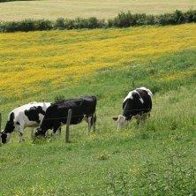 mucche al pascolo in Auvergne slow