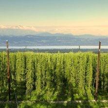 Piantagioni Luppolo_copyright Hopfengut No20 Gbr primavera al lago di Costanza