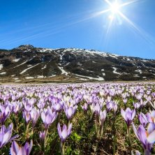 Valchiavenna_ValleSpluga_Madesimo_Crocus_Fioritura primavera in Valtellina