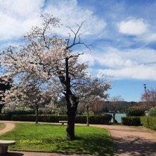 angolo fiorito ciliegi