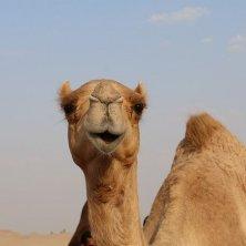cammello escursione
