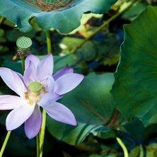 fiori di loto a Suzhou