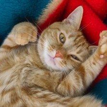 gatto polidattilo