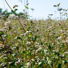 campo di grano saraceno