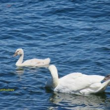 cigni lago Maggiore