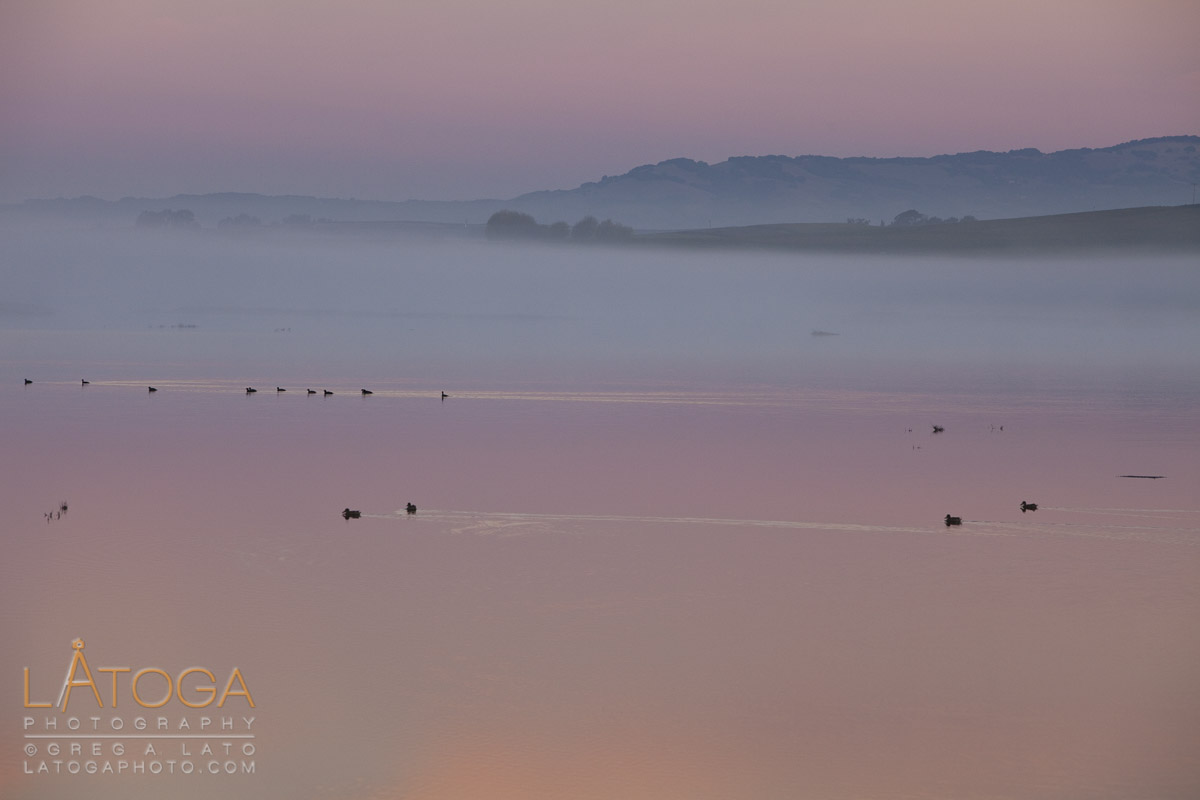 Fog and still waters disturbed only by the ducks swimming along greet Dawn at the Mud Slough near Napa, California.